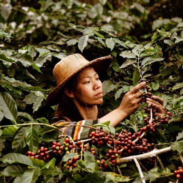 Asya Kahveleri